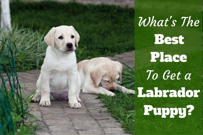 Where to get a labrador? So many options!