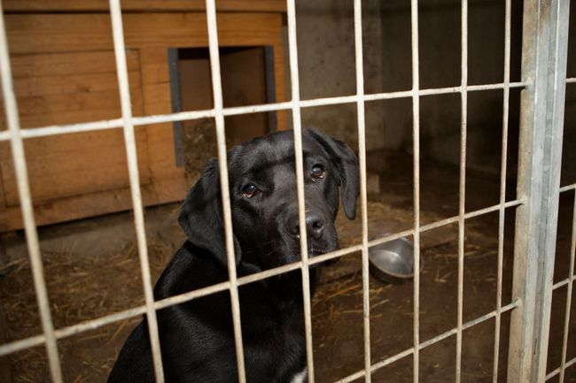 A sad looking Labrador in a crate