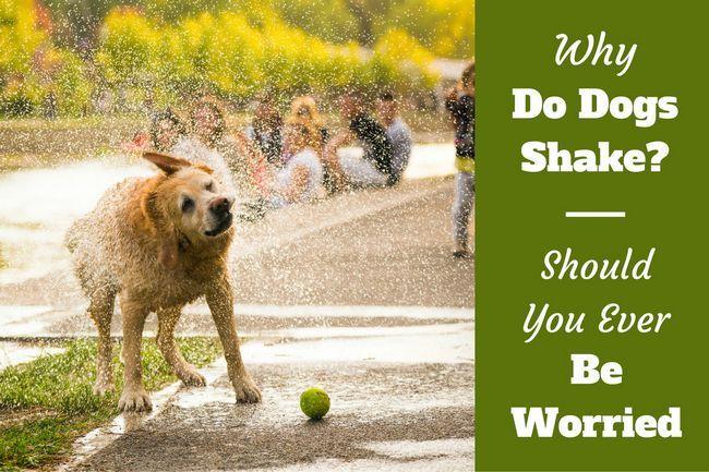 Whole lotta shakin' goin' on: why do dogs shake?