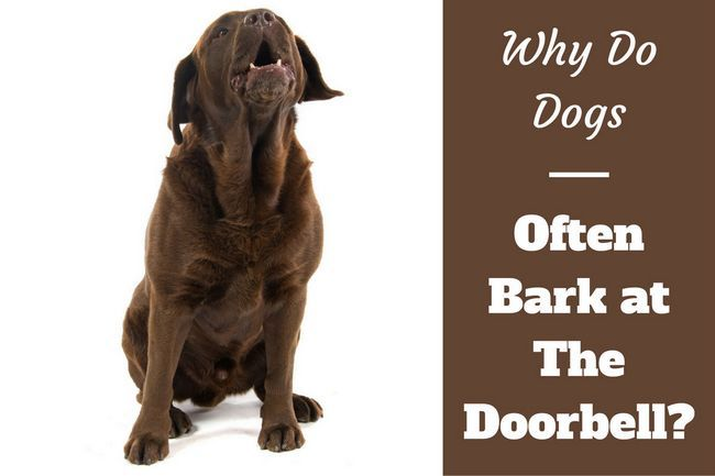 Why do dogs bark at the doorbell?