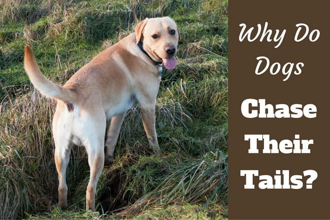Why do dogs chase their tails? Is it ever anything to worry about?