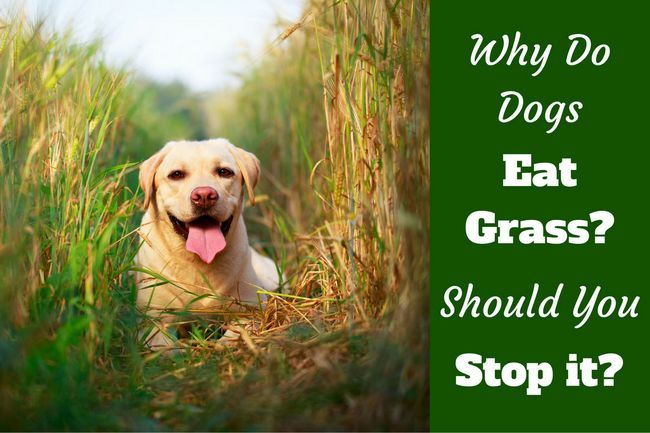 Why do dogs eat grass? Is it true they do so when sick?