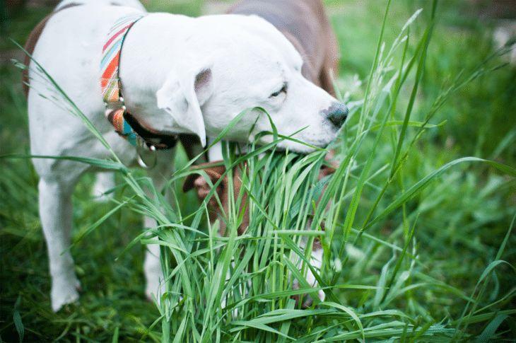 Husky puppy eating grass
