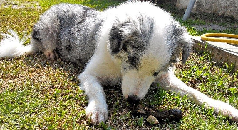 Why do dogs eat poop: causes and prevention methods