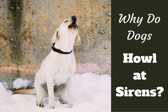 Why do dogs howl at sirens?
