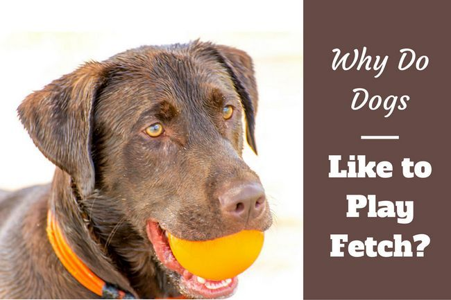 Why do dogs like to play fetch?