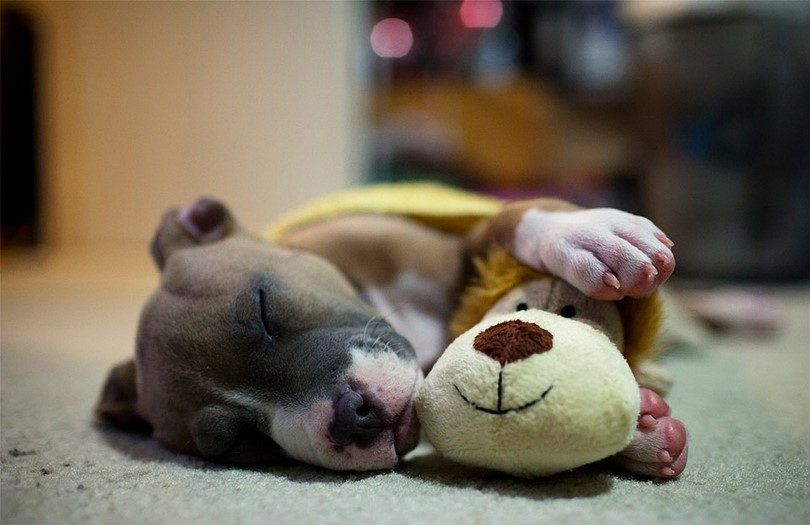 The sleeping dog with a toy