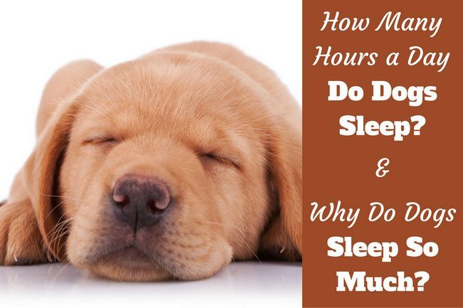 Why do dogs sleep so much? How many hours a day do dogs sleep?