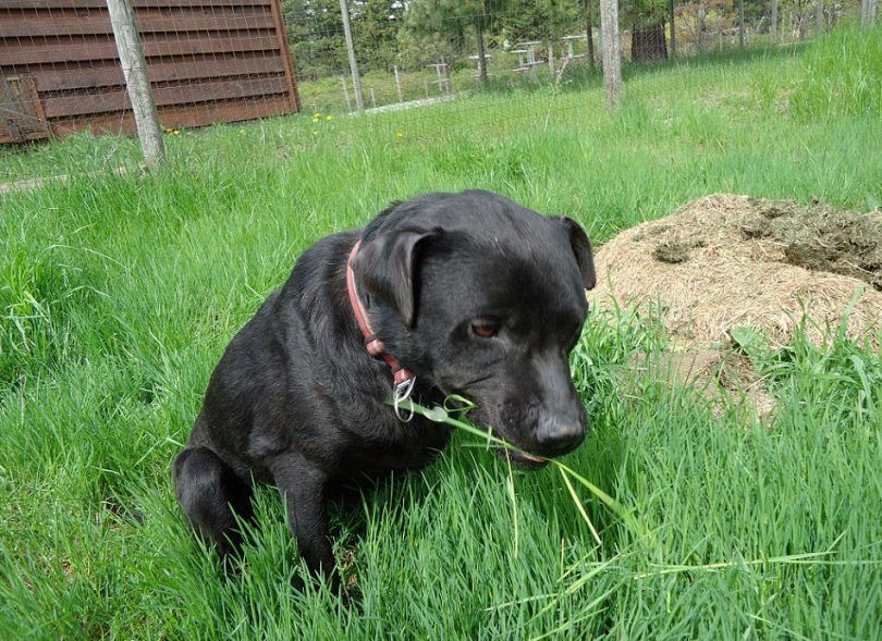 Why does my dog eat grass: main causes and prevention methods