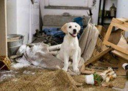 why use a dog crate - a lab puppy sitting in a room he has destroyed