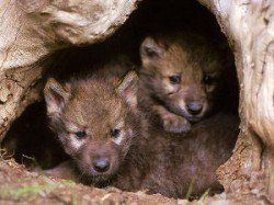 Is it cruel to crate a dog - 2 wolf cubs peeking out from their den