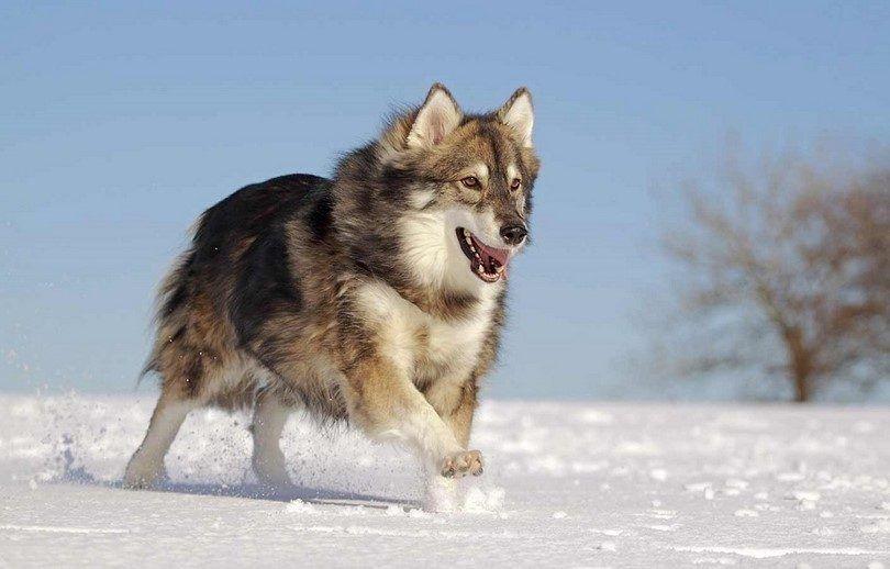 The Utonagan dog like wolf