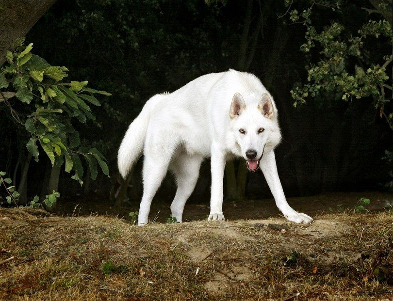 The Northern Inuit dog