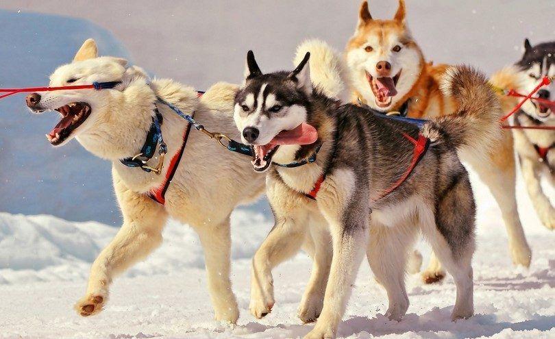 Siberian huskies working