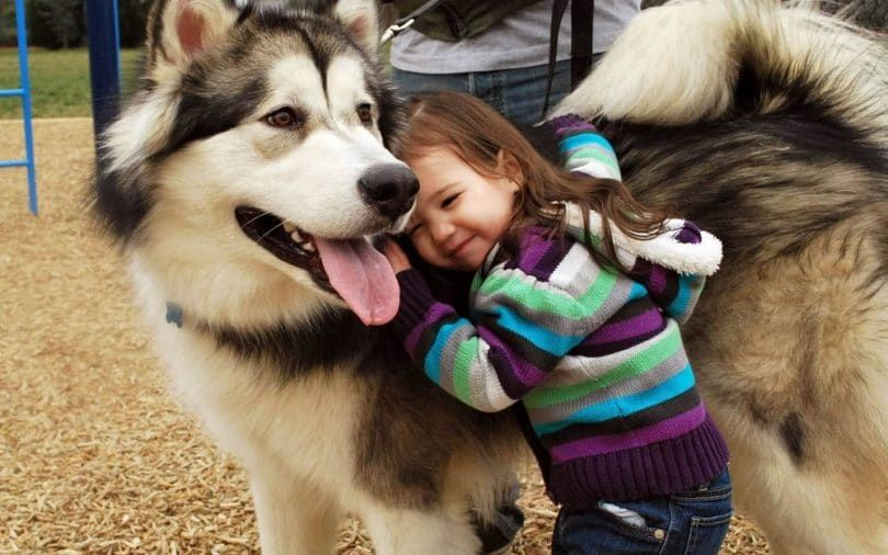 Alaskan Malamute with little girl
