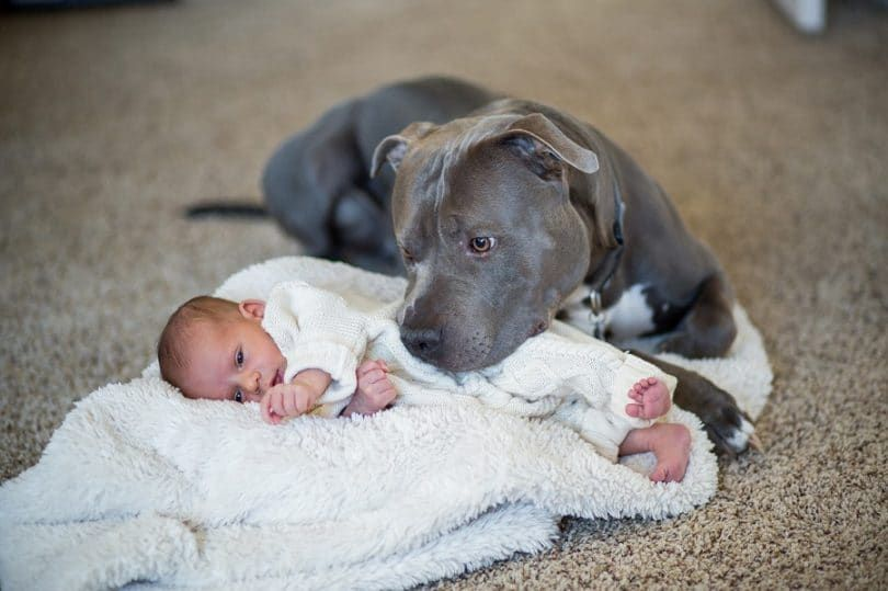 Pit Bulls with baby