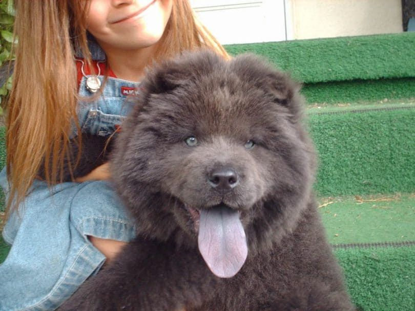 The Chow Chow with girl