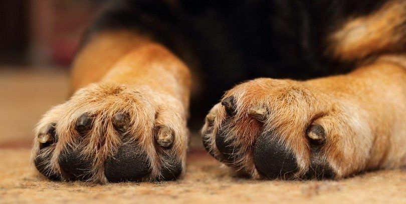 Yeast infection in dogs' paws: diagnosis and management