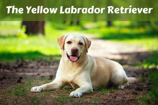 Yellow labrador retriever facts
