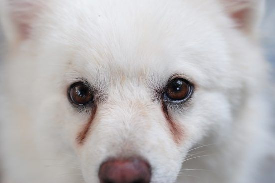 Yogurt for Tear Staining in Dogs